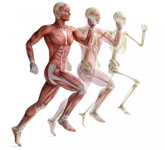 Skeleton-muscles-Vedas-Academy